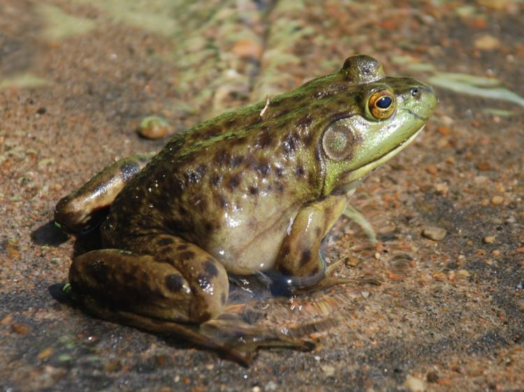 The American bullfrog impacts water quality and preys upon many native turtles, frogs, fish, and snakes.