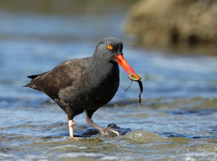 Black Oystercatcher on the Oregon coast.