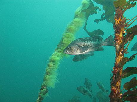 Black-Rockfish_Janna_Nichols_460.jpg