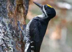 Black-backed-woodpecker_USFWS_460.jpg