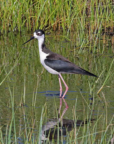 Black-necked-stilt-1_Keith-kohl_460.jpg