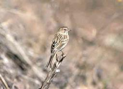 Brewers-sparrow_USFWS_460.jpg