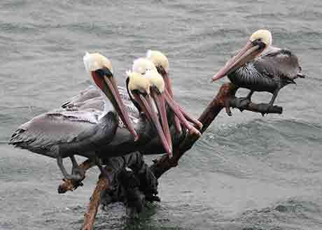 CA-brown-pelican_Kathy-Munsel_460.jpg