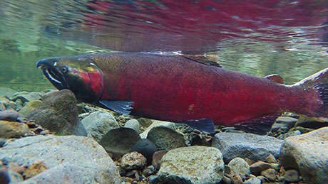 Coho_salmon_BLM_460-4.jpg