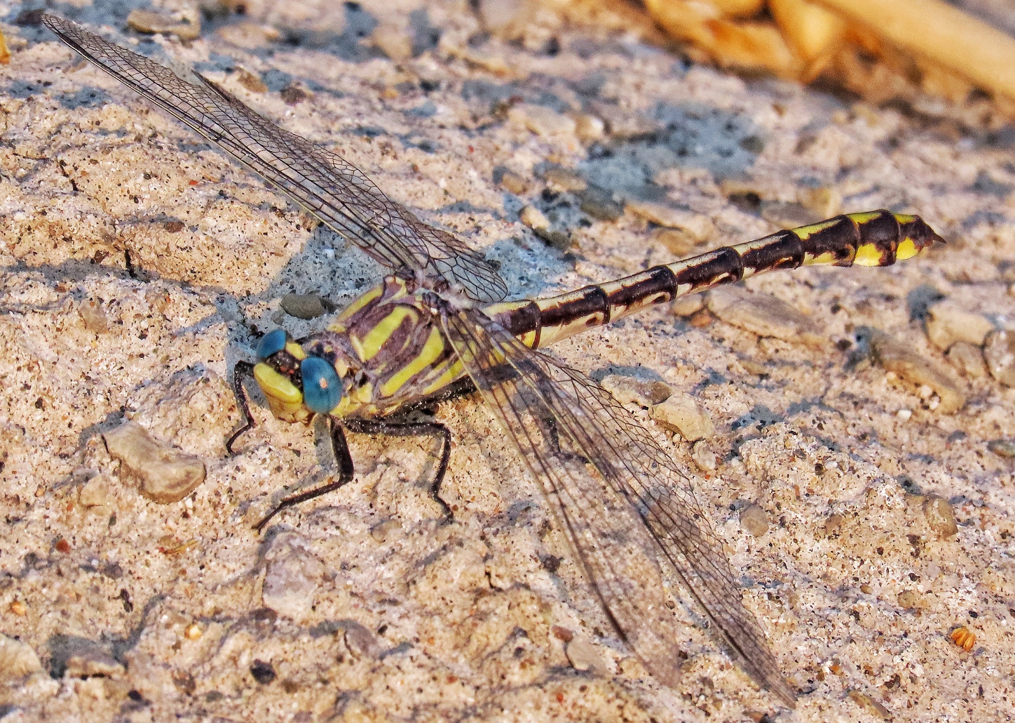 Columbia Clubtail