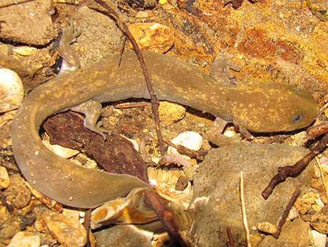Copes_giant_salamander_Jonathan_Hakim_flickr_460.jpg