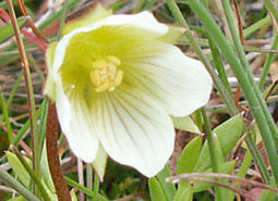 Dwarf-meadowfoam_ODA_460.jpg