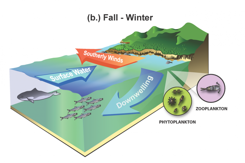 Fall winter downwelling