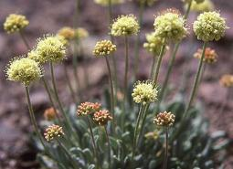 Golden-buckwheat_ODA_460.jpg