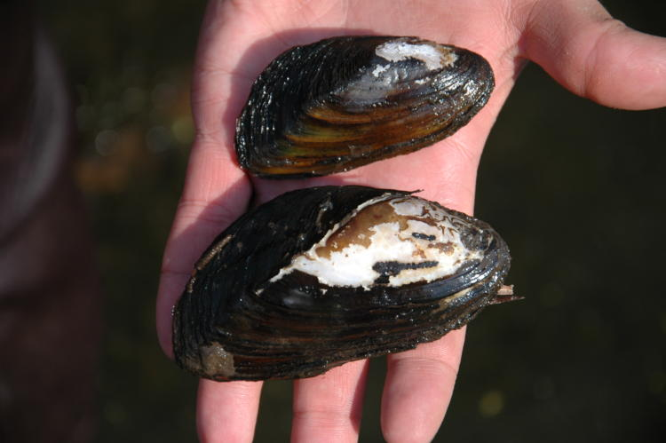 Western Ridged Mussel at the Malheur National Wildlife Refuge.