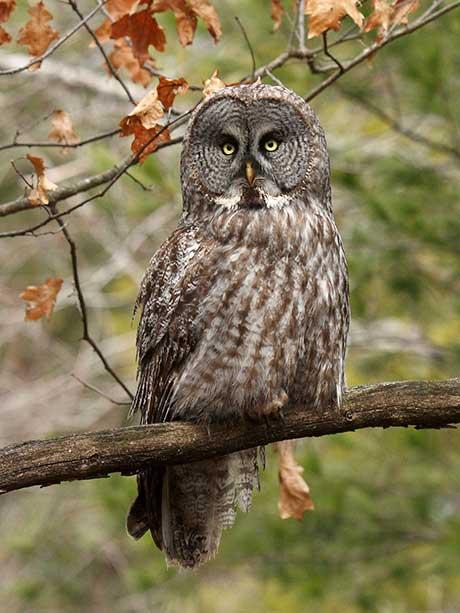 Great_gray_owl_Jim_Richmond_flickr_460.jpg
