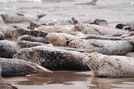 Harbor_seal_ODFW_460.jpg