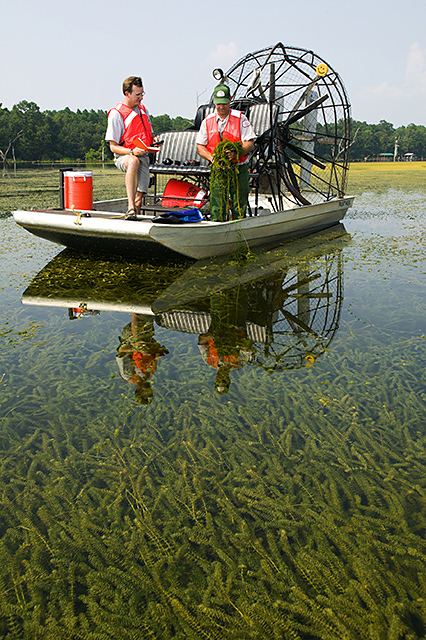 Hydrilla verticillata has not been discovered in Oregon, but has invaded aquatic systems in California and Washington.