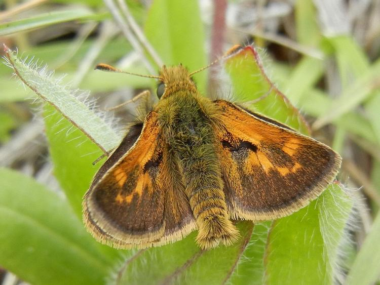 Mardon Skipper Butterfly