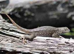 Northern-sagebrush-lizard_Keith-Kohl_460.jpg