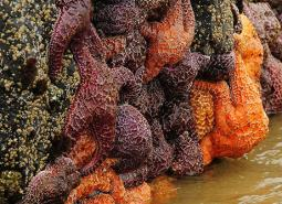 Ochre_sea_star_Roy_Lowe_USFWS_460.jpg