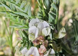 Pecks-milkvetch_ODA_460.jpg