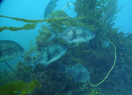 Pile_perch_Oregon_Coast_Aquarium_460.jpg