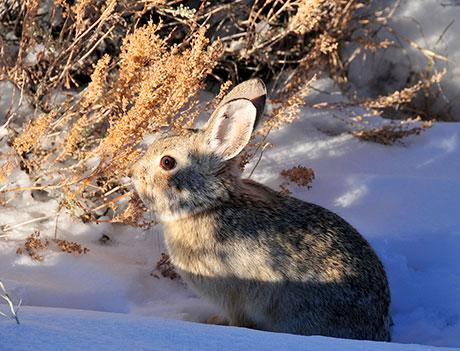Pygmy-Rabbit_Tom-Koerner_USFWS_460.jpg