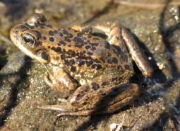 Cascades frog adult at Tipsoo Lake, Mt Rainier National Park, WA