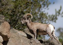 Rocky-Mountain-Bighorn-Sheep_USFWS_460.jpg