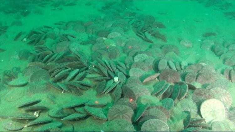 Sand dollars can form large beds in soft bottom habitats. Sonar surveys in 2008 suggested that this particular sand dollar bed off Otter Rock could cover as much as 3 square kilometers in 15-20 m depths. This large sand dollar bed was first visually inspected with the ODFW Remotely Operated Vehicle which captured this image on video. The spatial extent of sand dollar beds off Oregon is not well known and visual surveys can help ground truth sonar work and provide information about the biotic community, such as crabs, that may be associated with sand dollar beds.