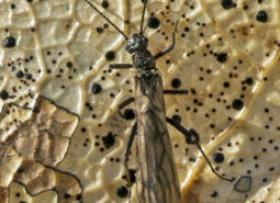 Photo of an adult stonefly by Cary Kerst, an Oregon resident after whom the species was named.