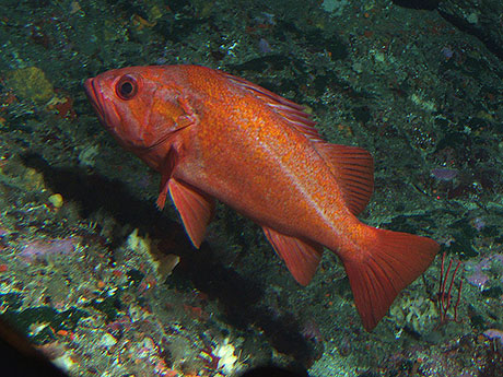 Vermillion_rockfish_Dan_Howard_NOAA_CBNMS_460.jpg