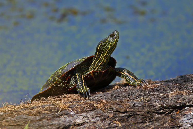 Western Painted Turtle on a log