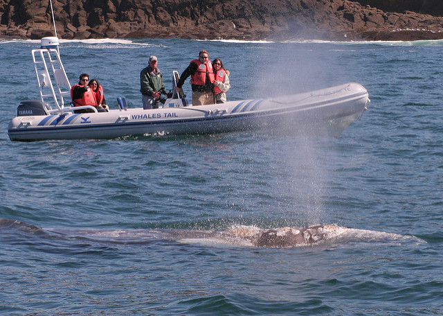 Gray Whale surfaces in front of boat