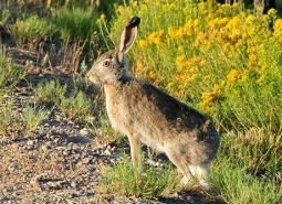 White-tailed-Jackrabbit_Tom-Koerner_USFWS_460.jpg