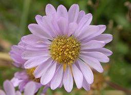 Willamette-daisy_ODA_460.jpg