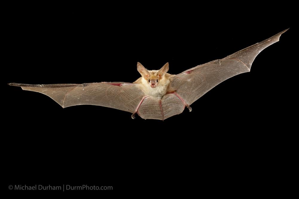 Pallid Bat Oregon Conservation Strategy