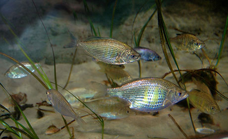 shiner_surfperch_Oregon_Coast_Aquarium_460.jpg