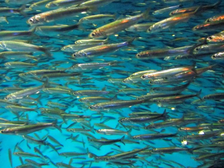 Northern anchovy in neritic, or open water, habitat.